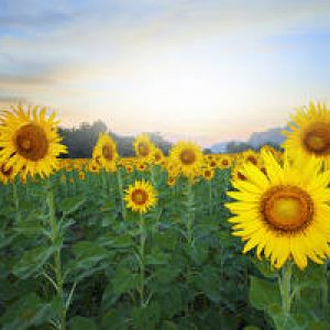 Fields_Sunflowers_Closeup_539973_300x200